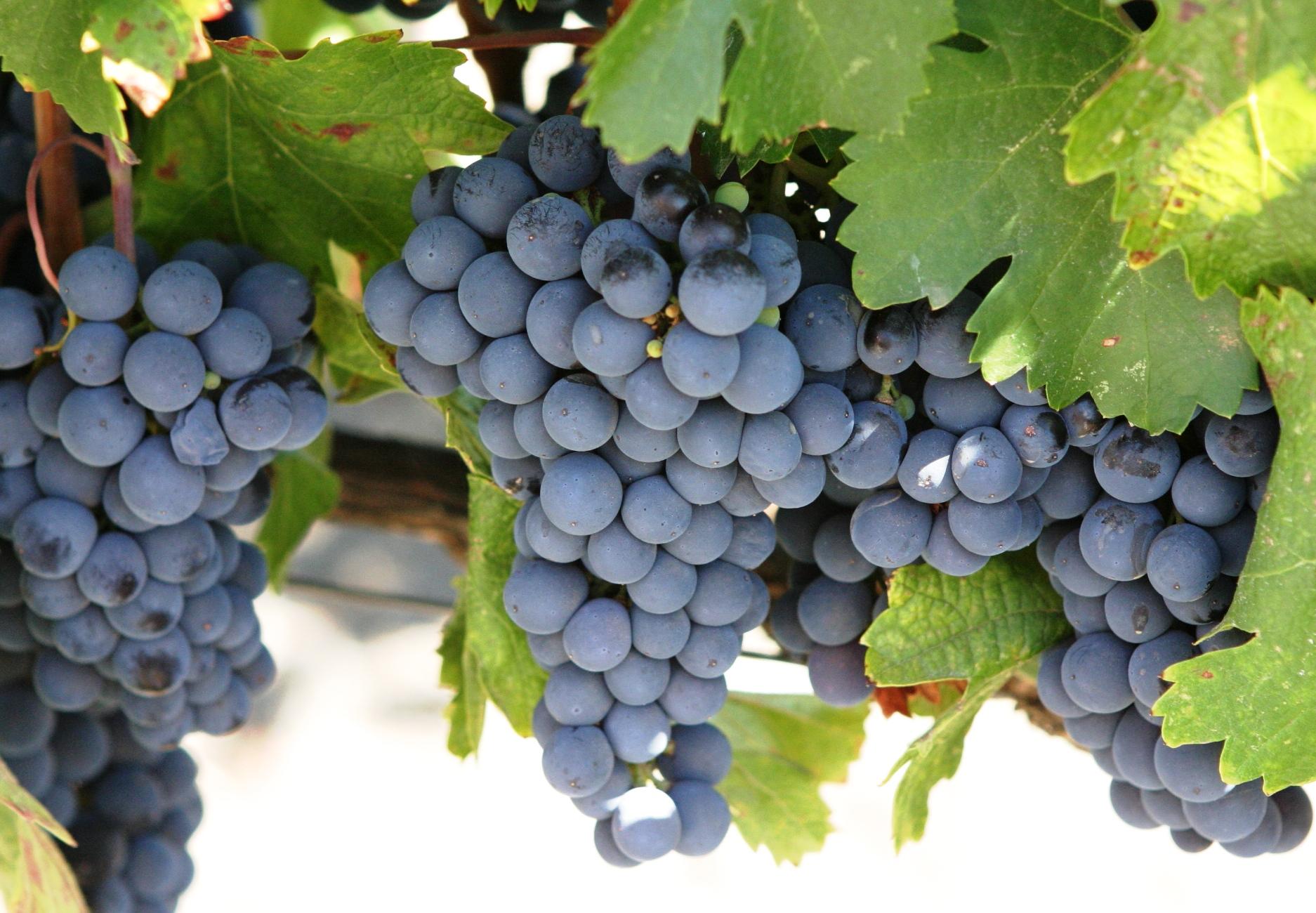 Cabernet-Sauvignon-Grapes-AU
